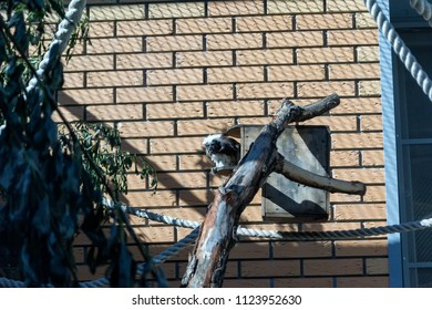 Novosibirsk,Russia - 06.15.2018: Black and white color small monkey Oedipus Tamarin, seating on the tree and looking in tothe camera. Order: Primates, Family: In-Game. Pinch monkey.