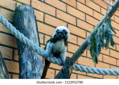 Novosibirsk,Russia - 06.15.2018: Black and white color small monkey Oedipus Tamarin in the zoo, seating on the tree and looking in tothe camera. Pinch monkey.