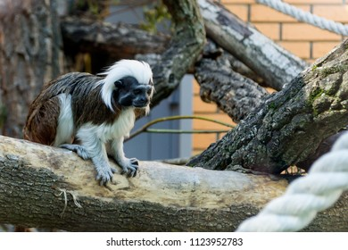 Novosibirsk,Russia - 06.15.2018: Black and white color small monkey Oedipus Tamarin in the zoo, seating on the tree and looking in tothe camera.Pinch monkey.
