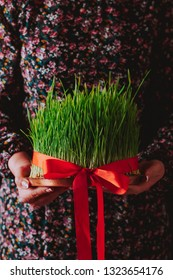Novruz concept, fresh green wheat grass semeni or samani or sabzi with red ribbon in female hands. Woman in floral dress holding the plate with Nowruz spring equinox symbol on dark background