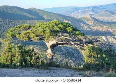 NOVY SVET, CRIMEA - Wish Tree on the Slope of Sokol Mount. Sudak pine on the slope of the mountain in Novy Svet in the background of the mountain range in the district of Sudak.