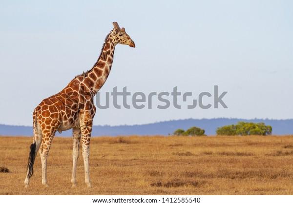 Nubian Giraffe, Giraffa camelopardalis camelopardalis, male, Critically endangered animal. On plains at Masai Mara National Reserve, Kenya, East Africa. Oxpecker birds on neck