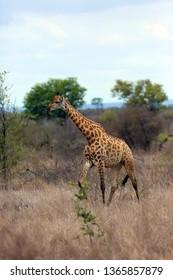 The Nubian giraffe (Giraffa camelopardalis camelopardalis) on the savannah. Big giraffe male among yellow grass.