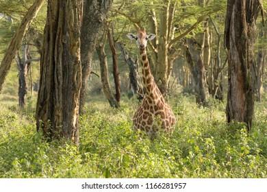 Nubian Giraffe (Giraffa camelopardalis camelopardalis) - In The Trees