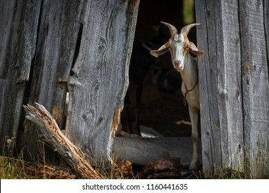 Nubian goat hide in the shadow and interested looking to us