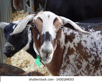 Nubian Goat - Spotted Brown and White Long Ear Goat at the San Diego County Fair - Livestock