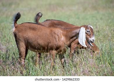Nubian Goats Grazing in Grass