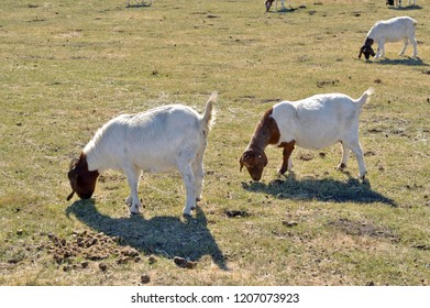 Nubian goats in a pasture.