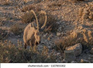 A Nubian Ibex breakfasts on grass and shrub leaves on  Ramon Crater (Makhtesh Ramon) northern steep cliff shortly after sunrise, Ramon Nature reserve, Mitzpe Ramon, Negev desert, Beersheba, Israel