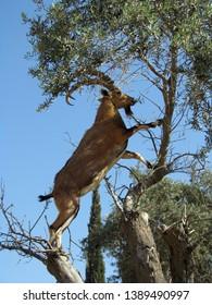 The Nubian ibex (Capra nubiana) climbing a tree in the Negev desert in Israel