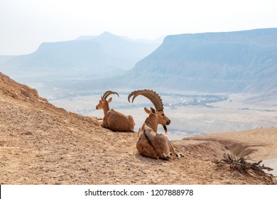 The Nubian ibex (Capra nubiana) is a desert-dwelling goat species found in mountainous areas of Algeria, Egypt, Ethiopia, Eritrea, Israel, Jordan, Lebanon, Oman, Saudi Arabia, Sudan, and Yemen.