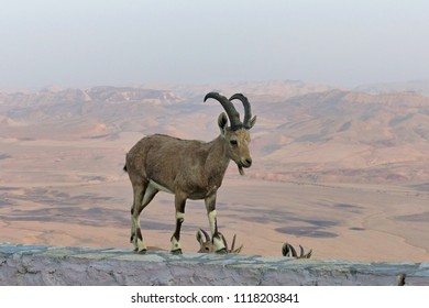 Nubian ibex (Capra nubiana) in Makhtesh Ramon, Israel. A desert-dwelling goat species Nubian ibex (Capra nubiana) found in mountainous areas such Israel, Jordan, Egypt and other countries.
