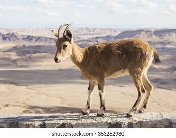 Nubian ibex (Capra Nubiana) at Makhtesh Ramon (Ramon Crater). Negev desert. Israel