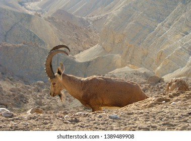 The Nubian ibex (Capra nubiana) in the Negev desert in Israel