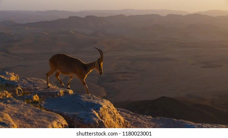 Nubian Ibex (Capra ibex nubia-na), standing on edge of the sunbaked mountains of the Arabian, Peninsula.