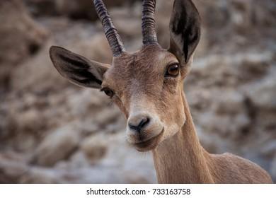 Nubian ibex in the Dead sea desert mountain climbing (gazelle, Antelope)