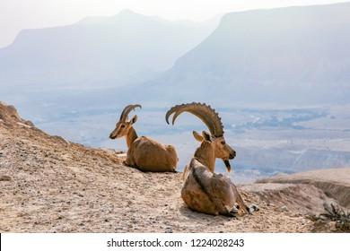 Nubian Ibex is a desert-dwelling goat species found in mountainous areas of Algeria, Egypt, Ethiopia, Eritrea, Israel, Jordan, Lebanon, Oman, Saudi Arabia, Sudan, and Yemen.