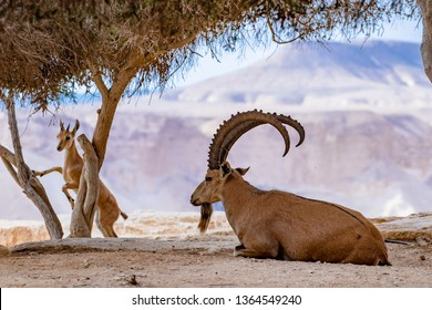 The Nubian Ibex is a desert-dwelling goat species found in mountainous areas of Algeria, Egypt, Ethiopia, Eritrea, Israel, Jordan, Lebanon, Oman, Saudi Arabia, Sudan, and Yemen.