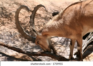 nubian ibex goat with head down, in a zoo