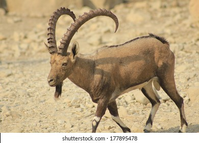 Nubian Ibex in Israel David Stream in the Desert of Judea
