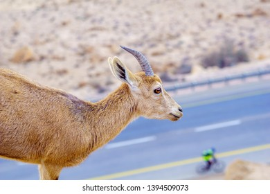 Nubian Ibex and landscape of Makhtesh (crater) Ramon, in the Negev Desert, Southern Israel