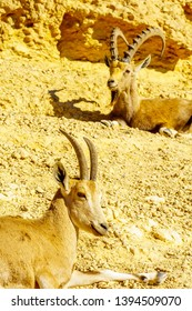 Nubian Ibex in Makhtesh (crater) Ramon, in the Negev Desert, Southern Israel
