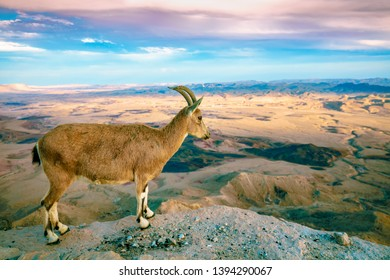 A Nubian ibex on the edge of Makhtesh Ramon Crater in Negev desert, National park, Israel