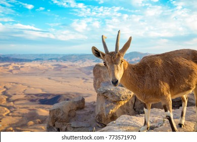 A Nubian ibex on the edge of Makhtesh Ramon Crater in Negev desert, Israel