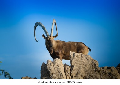 A Nubian ibex on top of the rock living in natural habitat in al ain zoo.