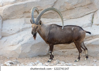 Nubian Ibex standing boldly showing off those impressive horns.