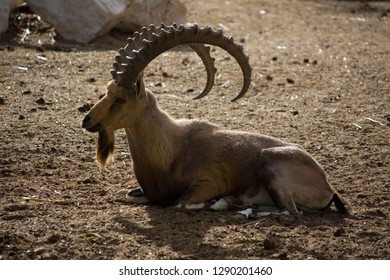 Nubian ibex in the zoo. Relaxing on the ground. selective focus.