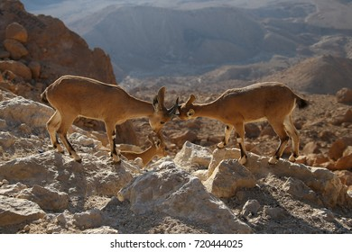 The Nubian mountain goat. the crater of Mitzpe Ramon. The Negev Desert. Israel