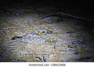 Nubian nightjar, nocturnal bird of Jordan