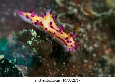 Nudibranch Aegires villosus. Picture was taken in the Banda sea, Ambon, West Papua, Indonesia