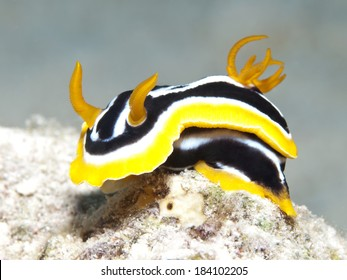 Nudibranch chromodoris africana in Red sea, Egypt, Hurghada