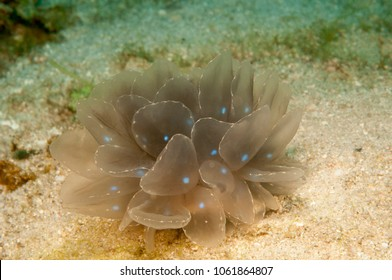 Nudibranch (Cyerce elegans)  on the sand