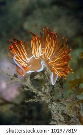 Nudibranch (Dondice banyulensis) in Arr�¡bida, Portugal