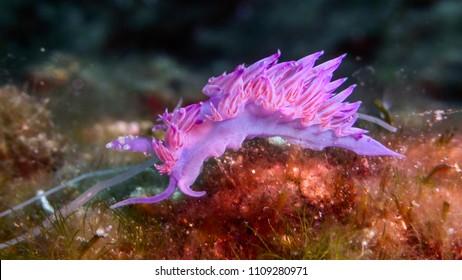 Nudibranch, Flabellina affinis, Mediterranean Sea