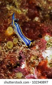 Nudibranch (Hypselodoris tricolor) in Sesimbra, Portugal