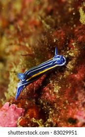 Nudibranch (Hypselodoris villafranca)
