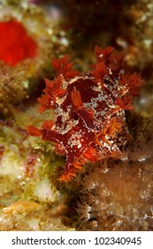 Nudibranch (Marionia blainvillea) feeding on Paralcyonium spinulosum in Berlengas, Portugal