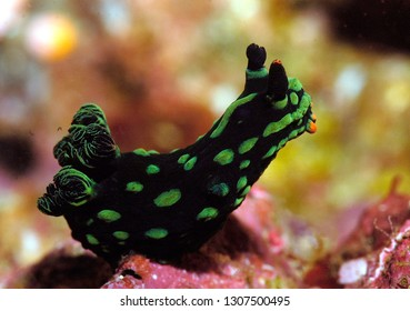 nudibranch on reef in raja ampat