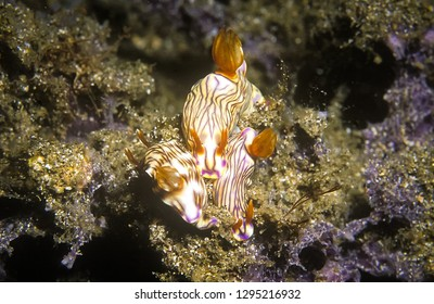 Nudibranch, a shell-less marine animal. Family of nudibranch have yellow body with purple line, including tentacles and tails in red.