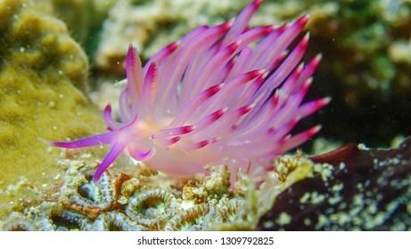 Nudibranch Tenellia Sibogae