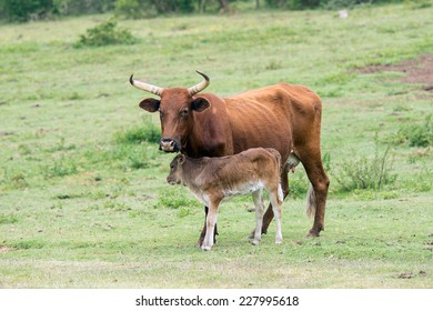 Nuguni Cattle in the veld on the ranch Indigenous to South Africa