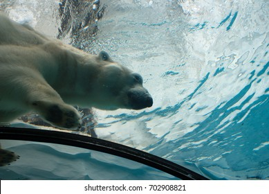 Nuka the polar bear loves to swim