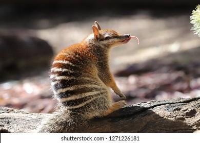Numbat Marsupial Anteater