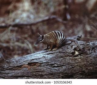 Numbat, Myrmecobius fasciatus, is a very rare marsupials, Australia