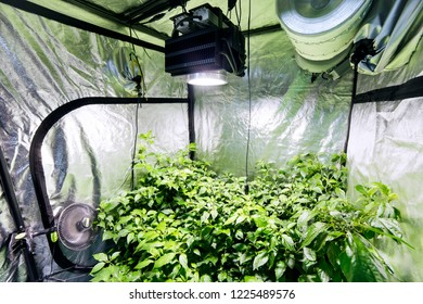 A number of small chilli plants are being grown to demonstrate the quality of hydroponic products, substrates, ventilation types and different lighting in a commercial retail outlet.