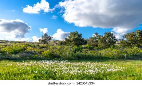Number of white cotton grass flowers on the green meadow mixed with green grass on Vlieland Island ( Friesland) in the Netherlands during sunny day with bright blue dramatic cloudy sky